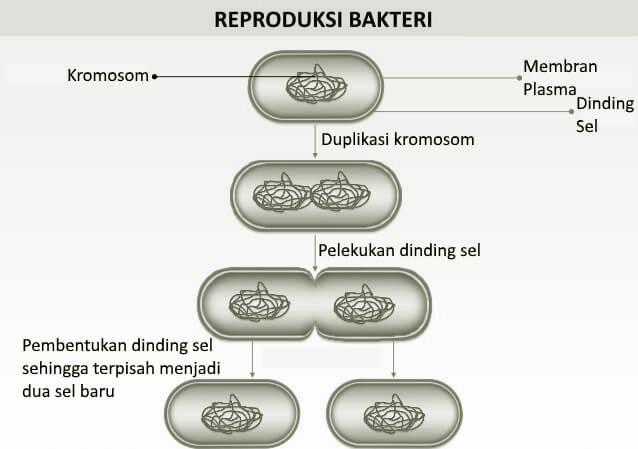 Reproduksi Bakteri secara Aseksual dengan Membelah Diri secara Biner