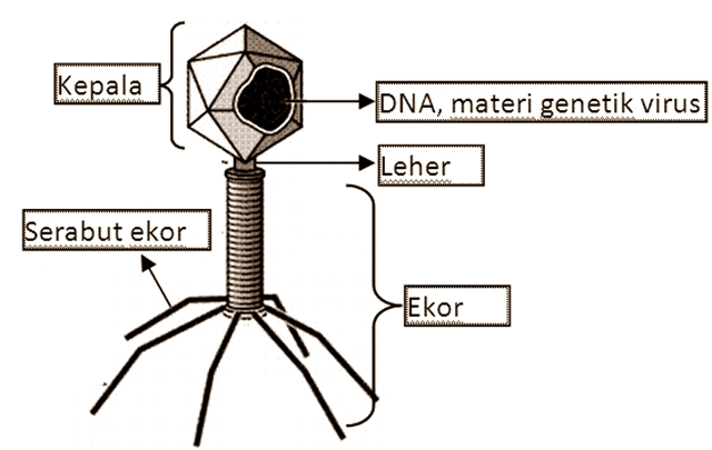 Struktur Virus Bakteriofage yang Menyerang Bakteri Escericia Coli