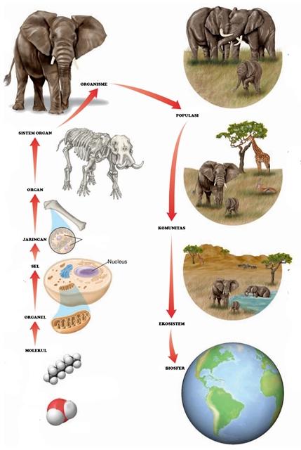 Tingkatan Struktur Organisasi Tingkat Kehidupan dari Molekul Hingga Biosfer