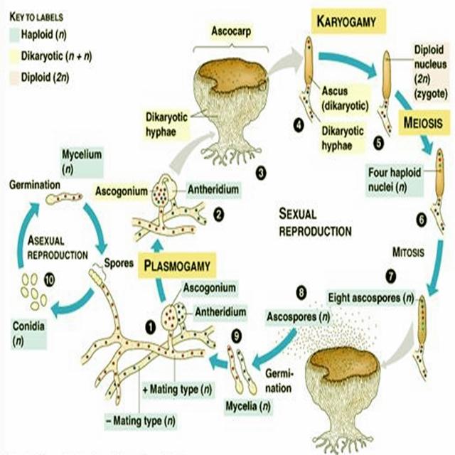 Reproduksi Ascomycota secara Aseksual pada Organisme Multiseluler